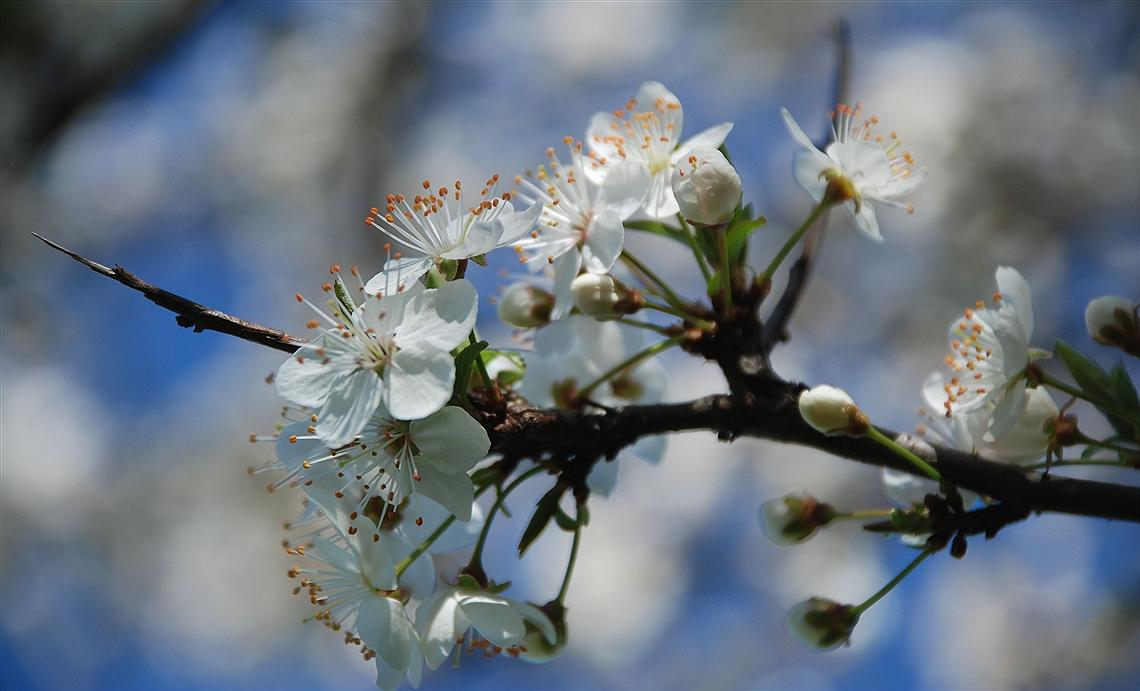 Hawthorn Bloom
